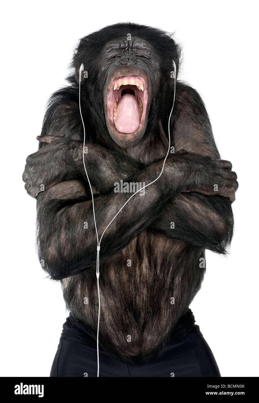 Monkey, razza mista tra scimpanzé e Bonobo, 20 anni, ascoltando la musica sulle cuffie davanti a uno sfondo Immagini Stock