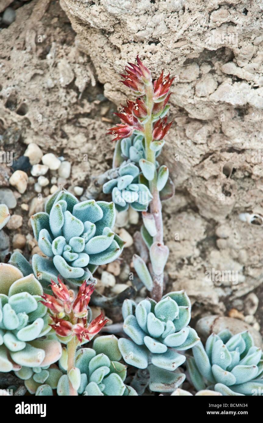 Cactus, succulenti, Piante succulente | Dicotiledoni, Echeveria leucotricha, Messico (Puebla) Immagini Stock