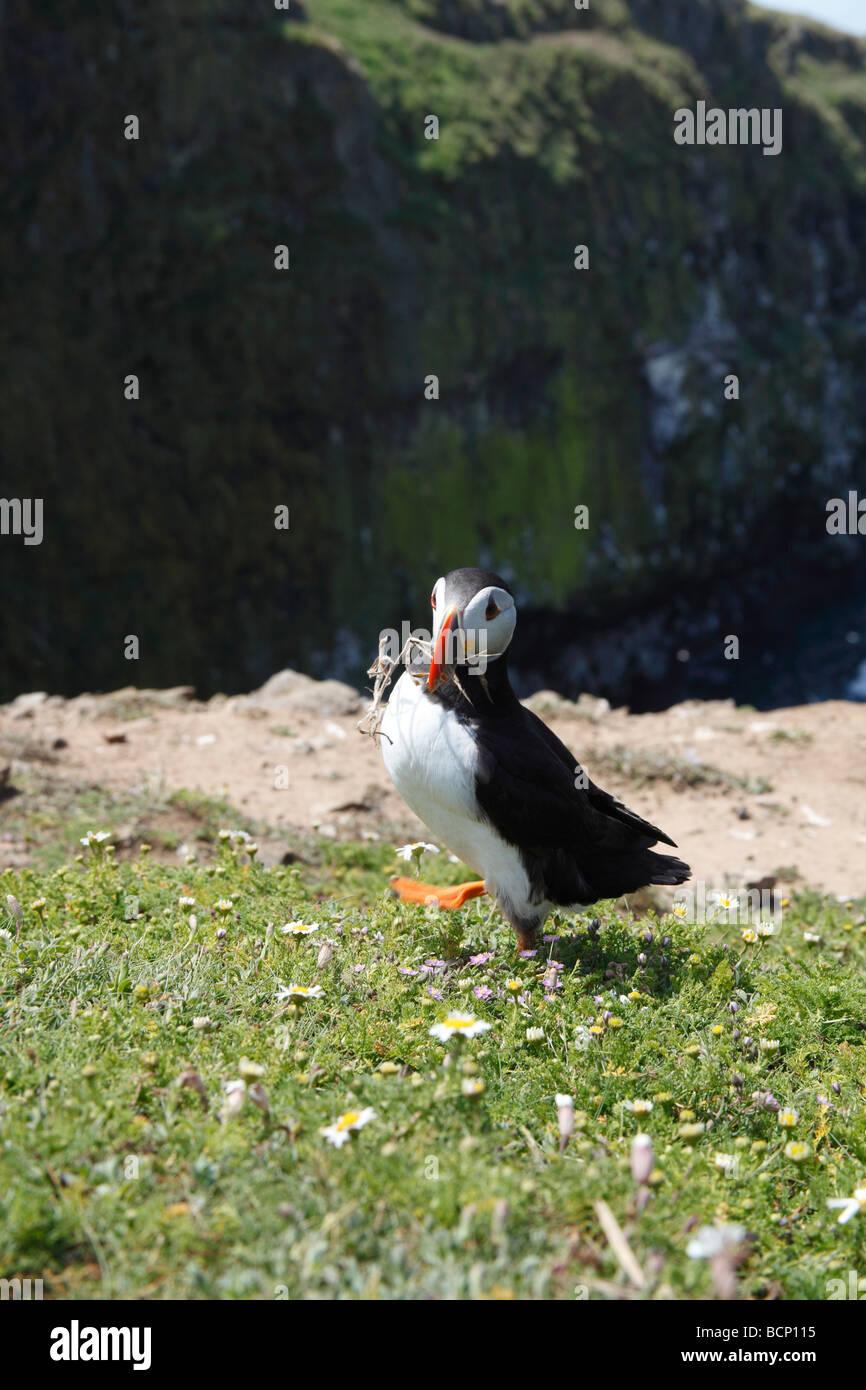 Puffin Fratercula arctina beakfull con del materiale di nido Immagini Stock