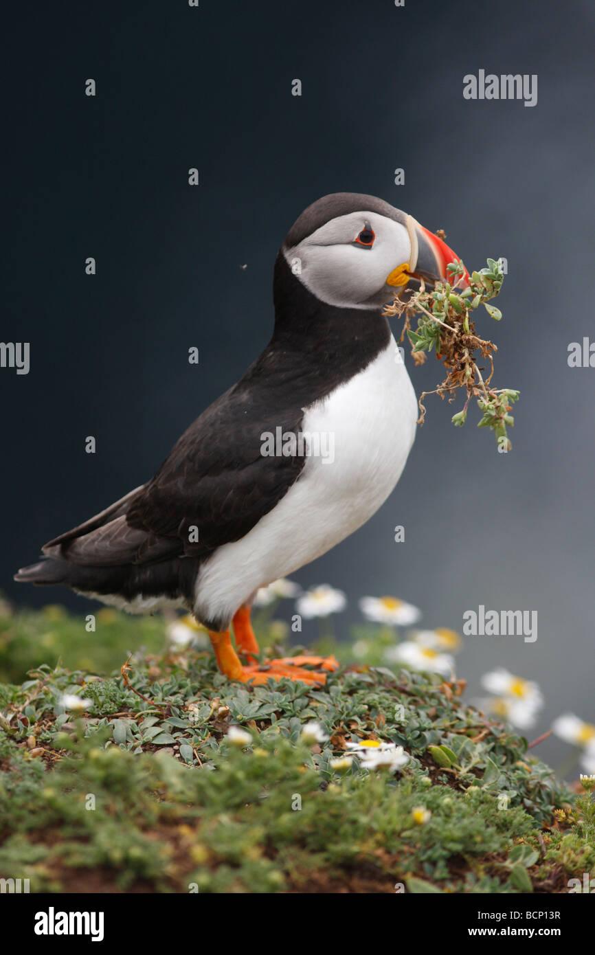Puffin Fratercula arctica che trasportano materiale nido Immagini Stock