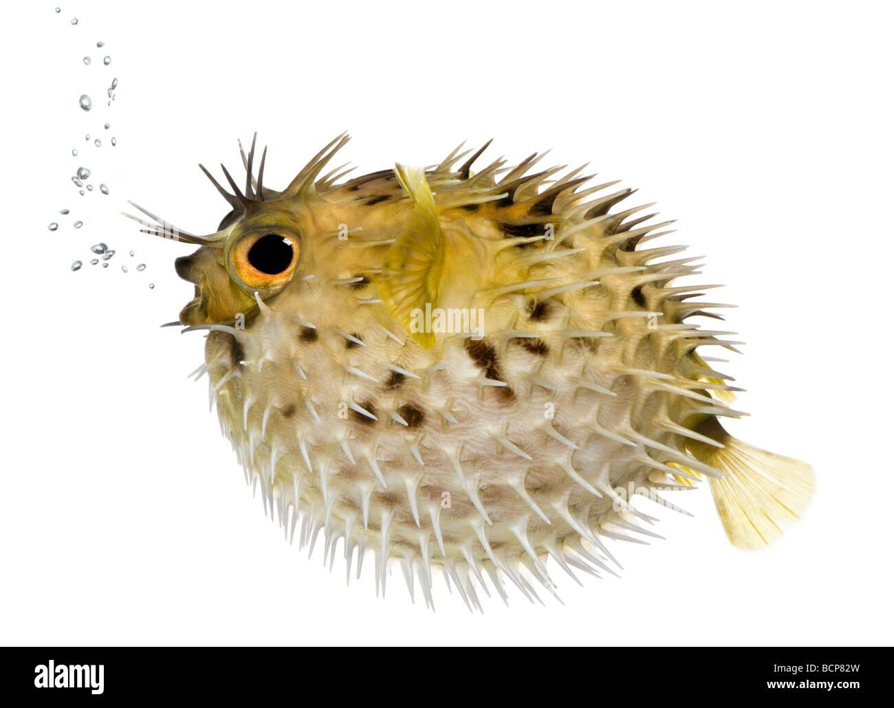 Allungate la spina dorsale porcupinefish, noto anche come balloonfish spinoso pesce, Diodon holocanthus, di fronte Immagini Stock