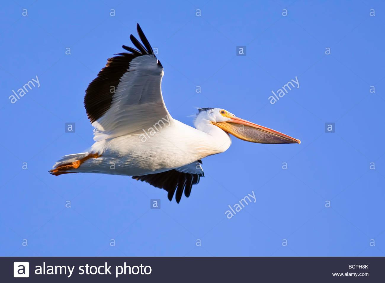 Americano bianco Pelican in volo Immagini Stock