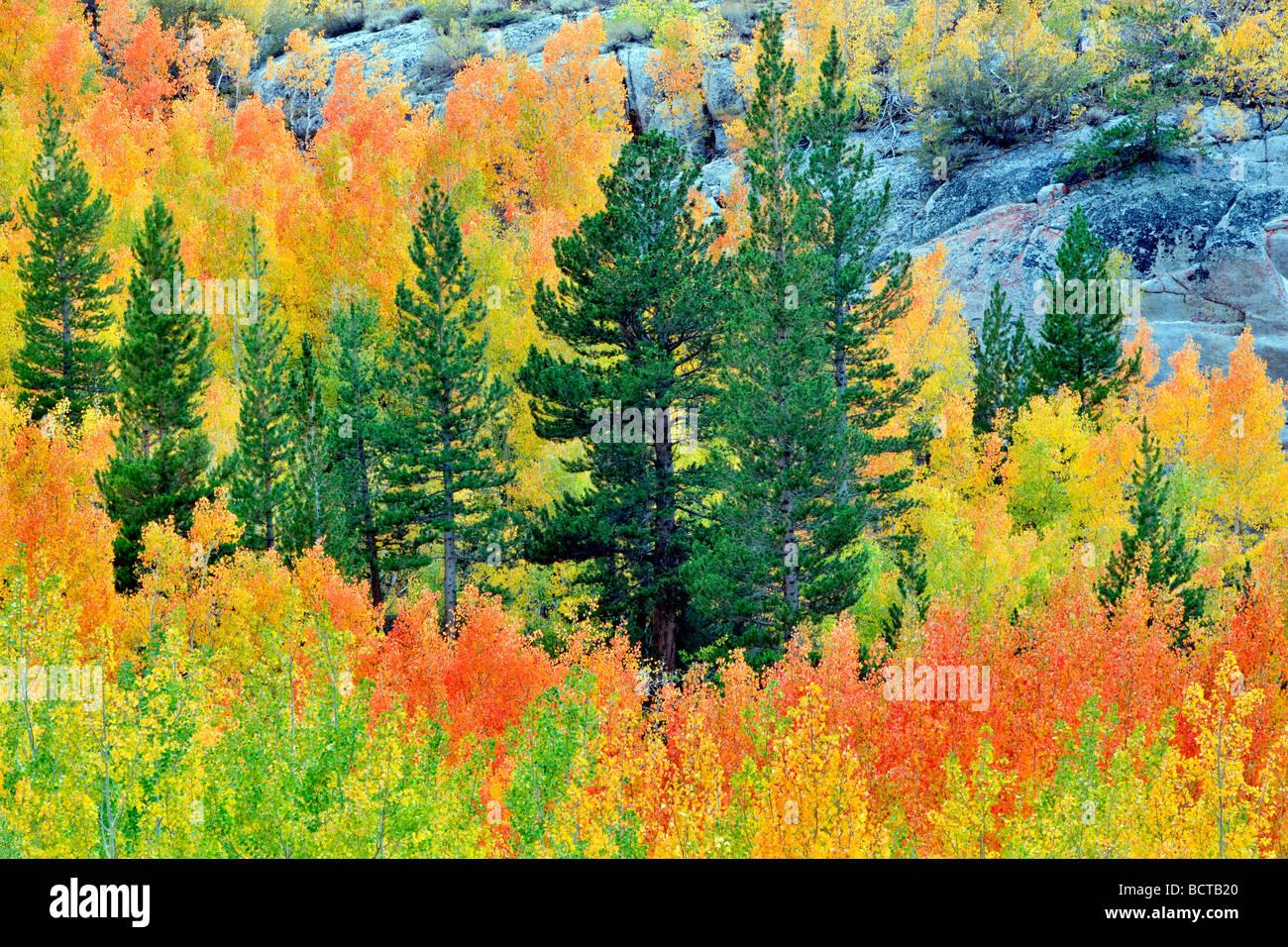 Foresta mista di aspens in autunno colori e abeti di Inyo National Forest in California Immagini Stock