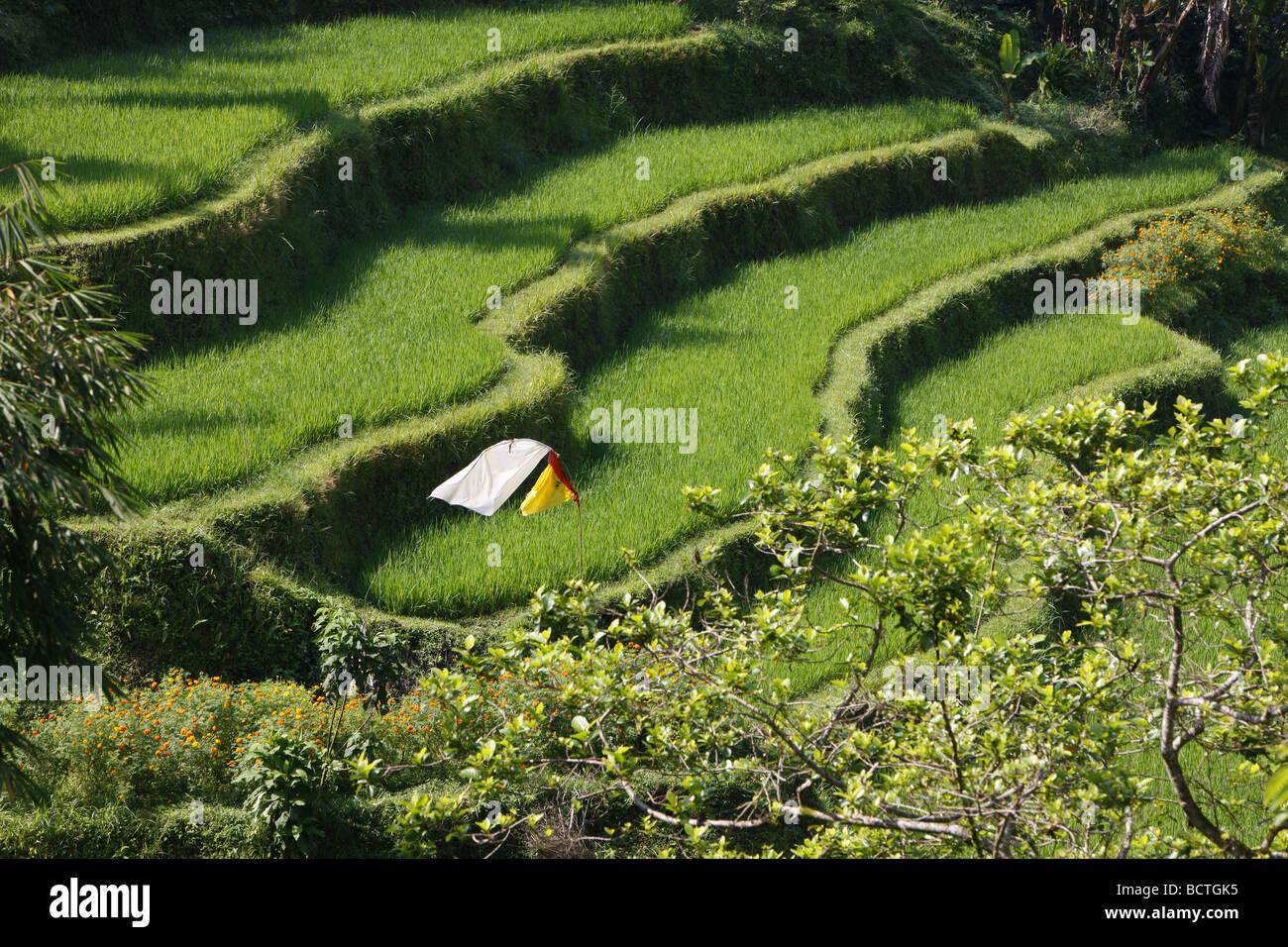 Risaie e campi di vegetali in coltivazioni a terrazza, Bali ...
