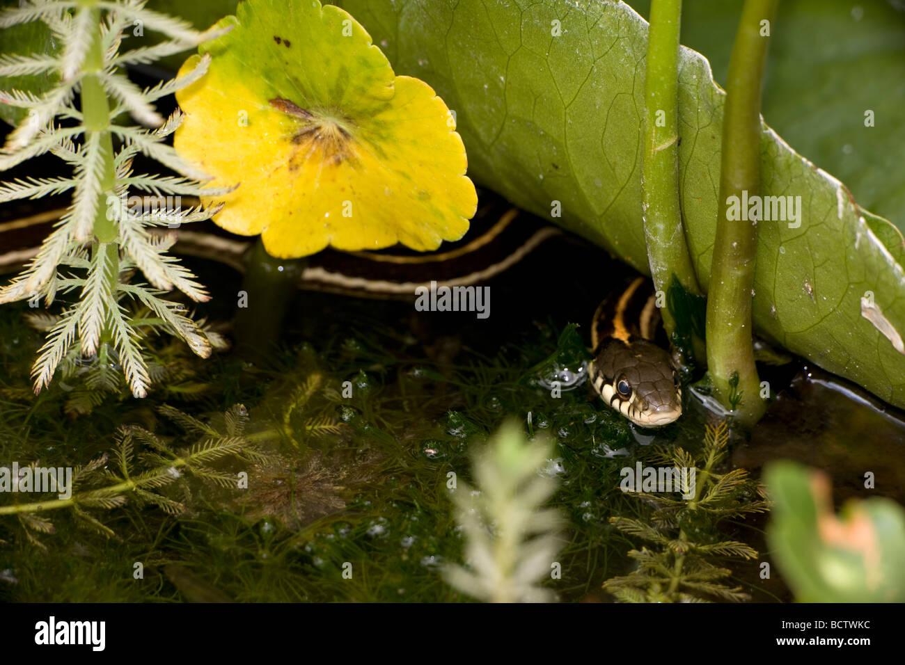 Nero a collo di serpente giarrettiera (Thamnophis cyrtopsis) Az - USA - Semi-acquatico - In stagno con ninfee Foto Stock