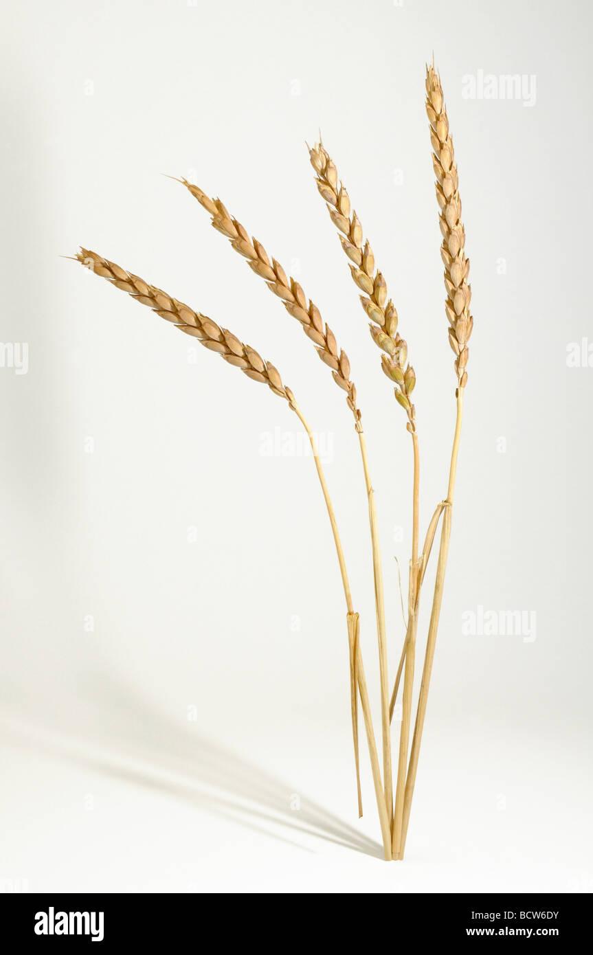 (Spelta Triticum spelta), spighe mature, studio immagine Immagini Stock