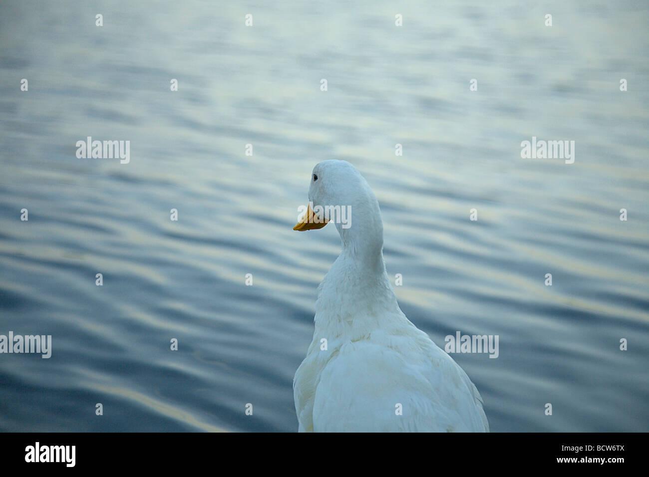 Singola bianco duck sulla riva di un lago Immagini Stock