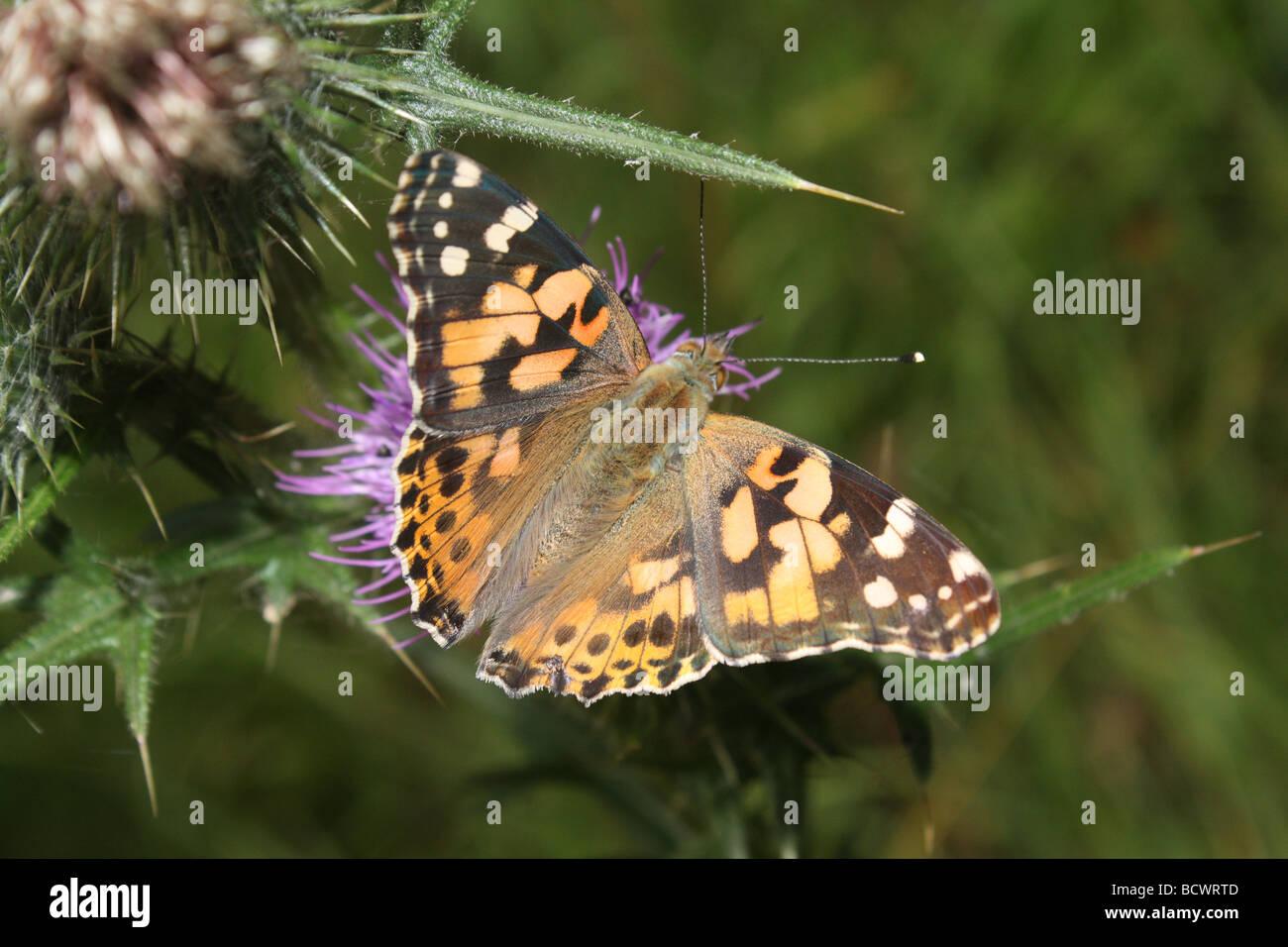 Un dipinto di Lady butterfly poggiante su un thistle. Immagini Stock