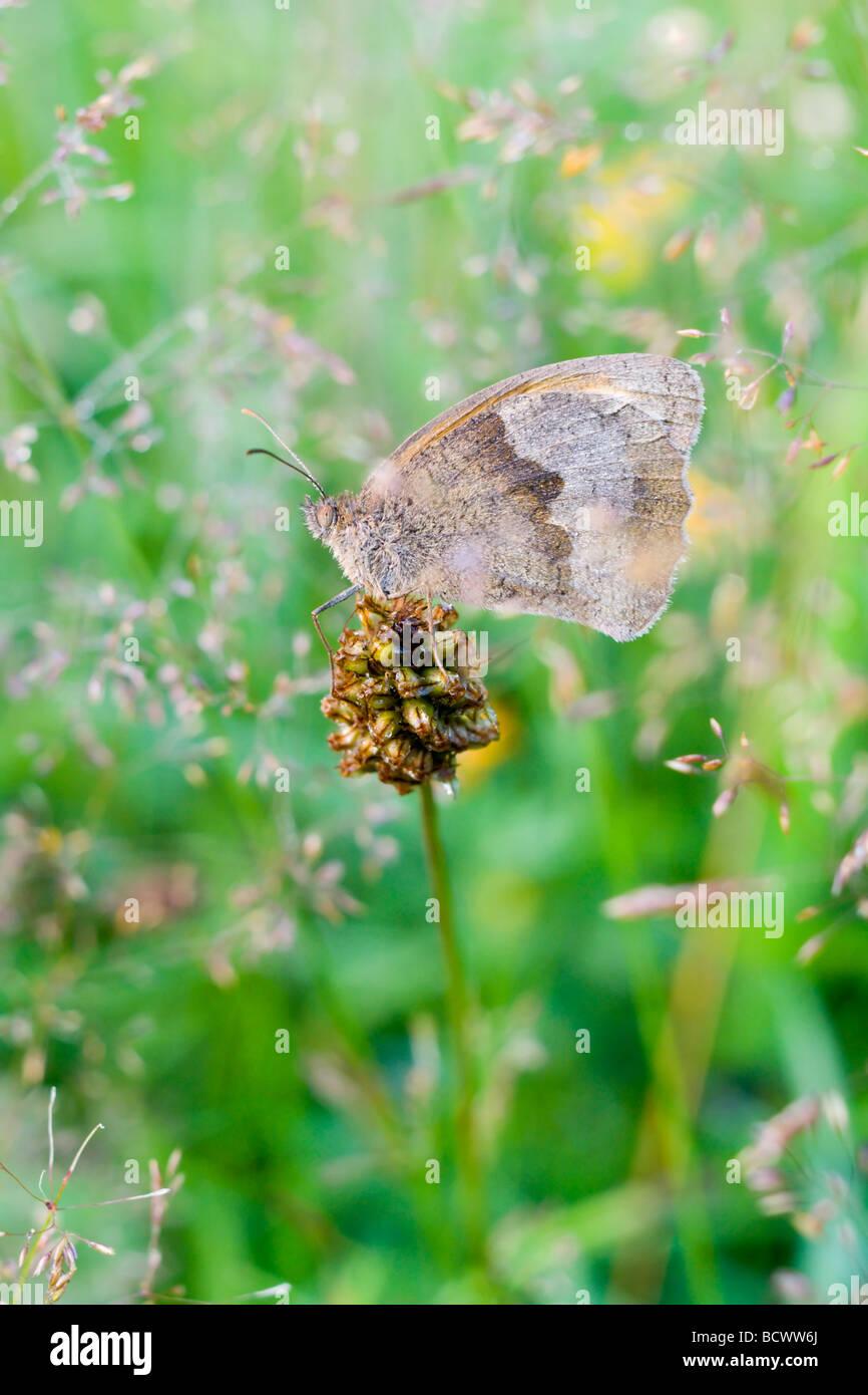 Prato farfalla marrone in erbe Immagini Stock