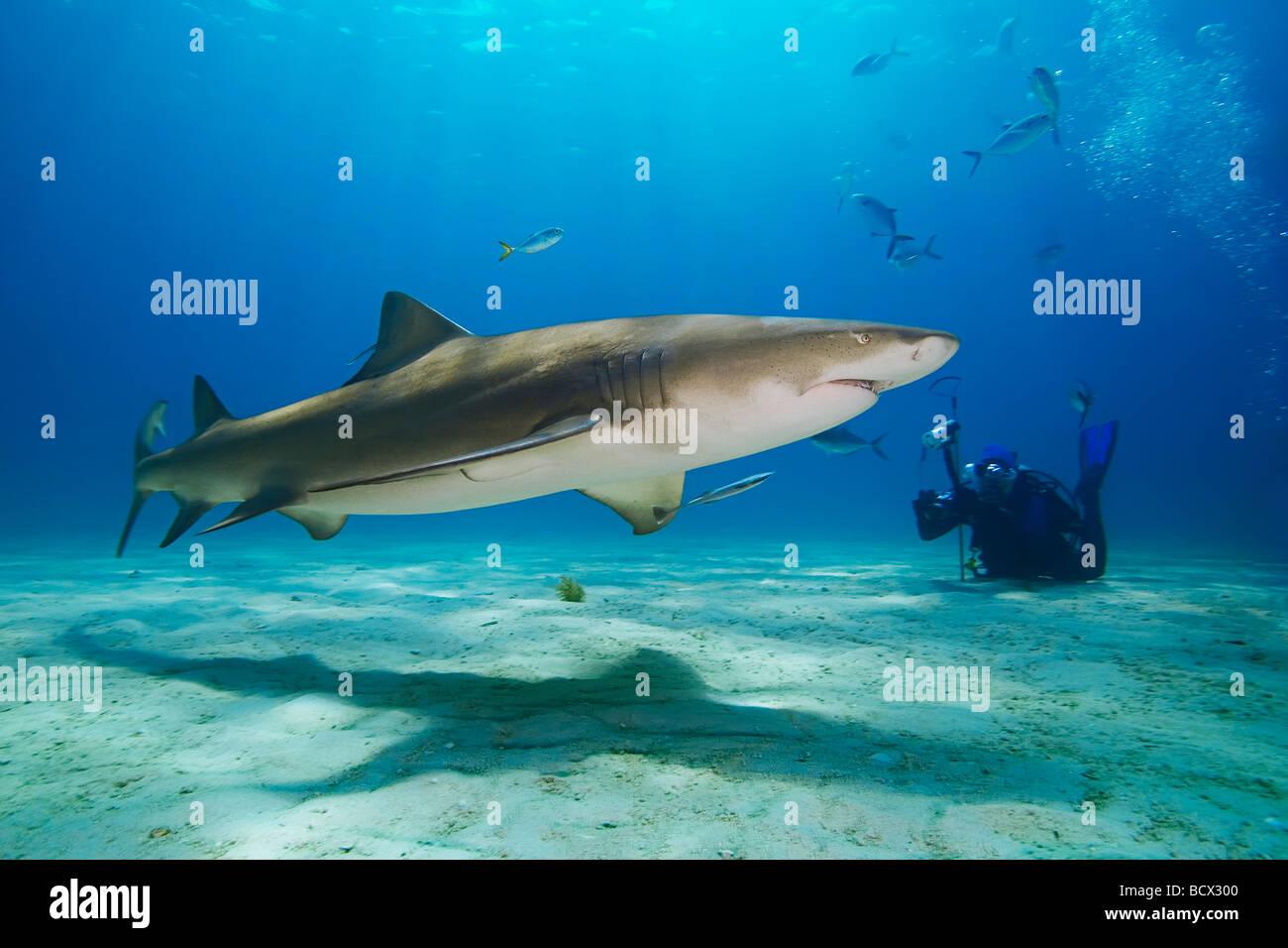 Lo squalo limone con subacqueo Negaprion brevirostris Oceano Atlantico Bahamas Immagini Stock