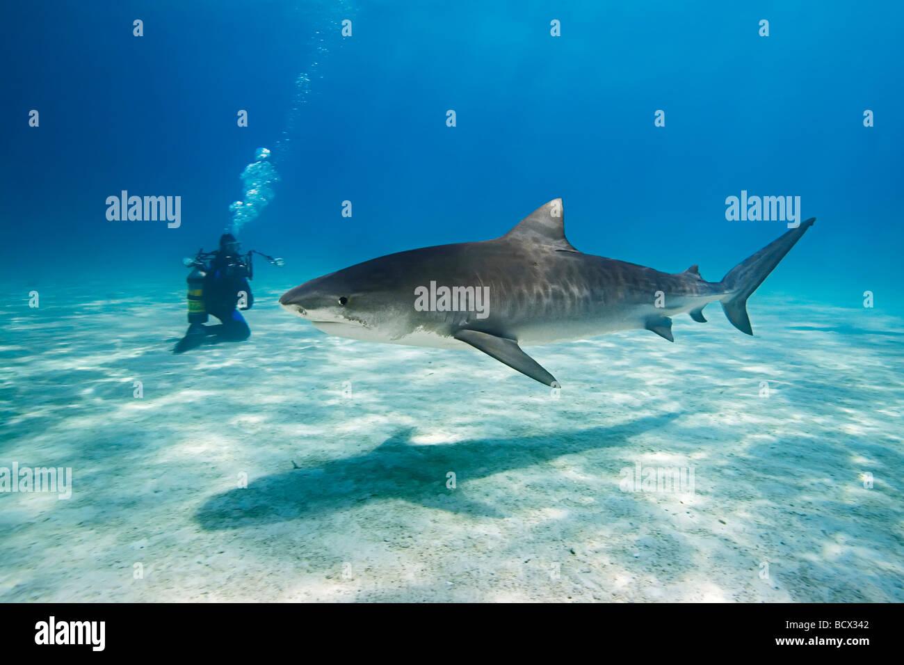 Tiger Shark con subacqueo Galeocerdo cuvier Oceano Atlantico Bahamas Immagini Stock