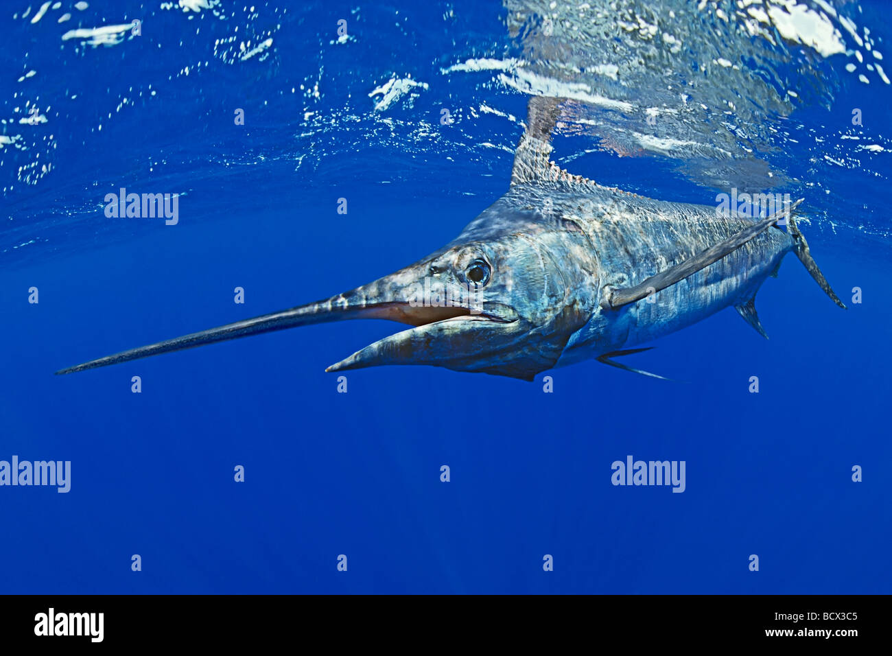 Marlin azzurro Makaira nigricans costa di Kona Big Island Pacific Ocean Hawaii USA Immagini Stock