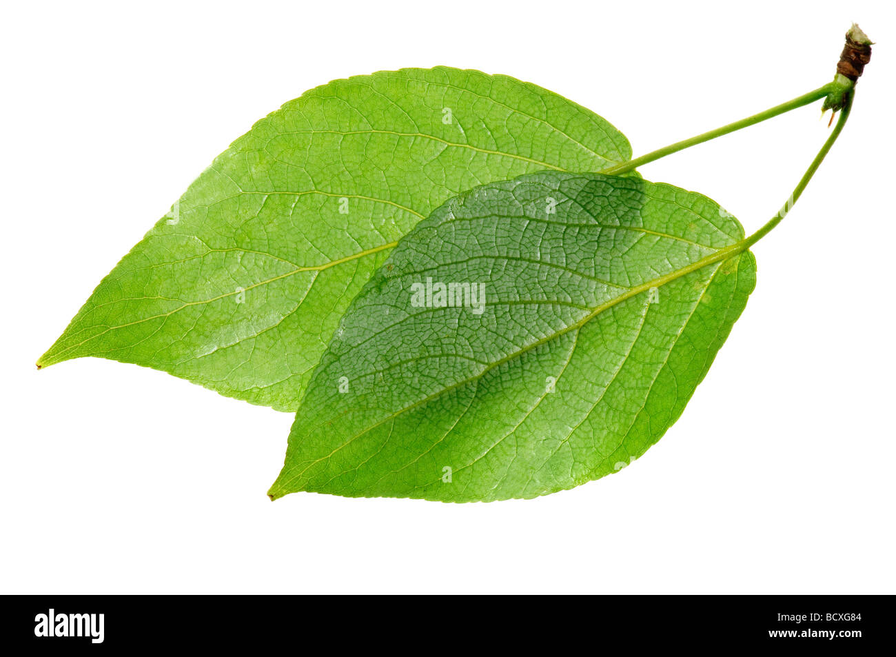 Foglie verdi isolati su bianco Immagini Stock