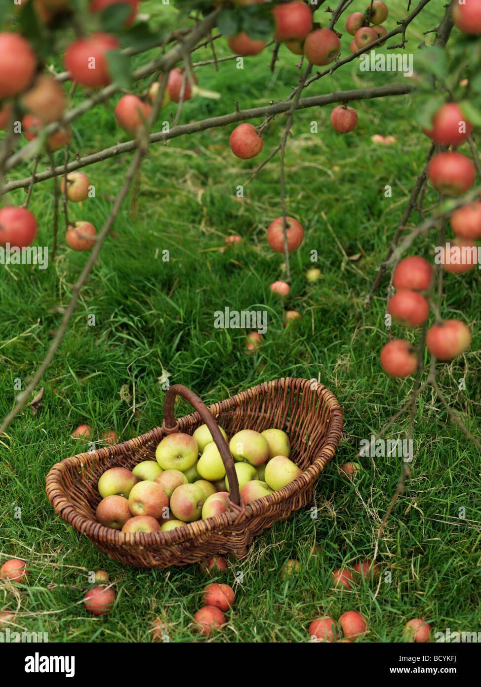 Cesto di mele sotto il melo Immagini Stock