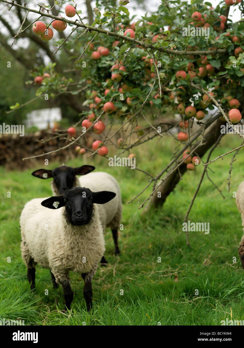 Pecore sotto il melo Immagini Stock
