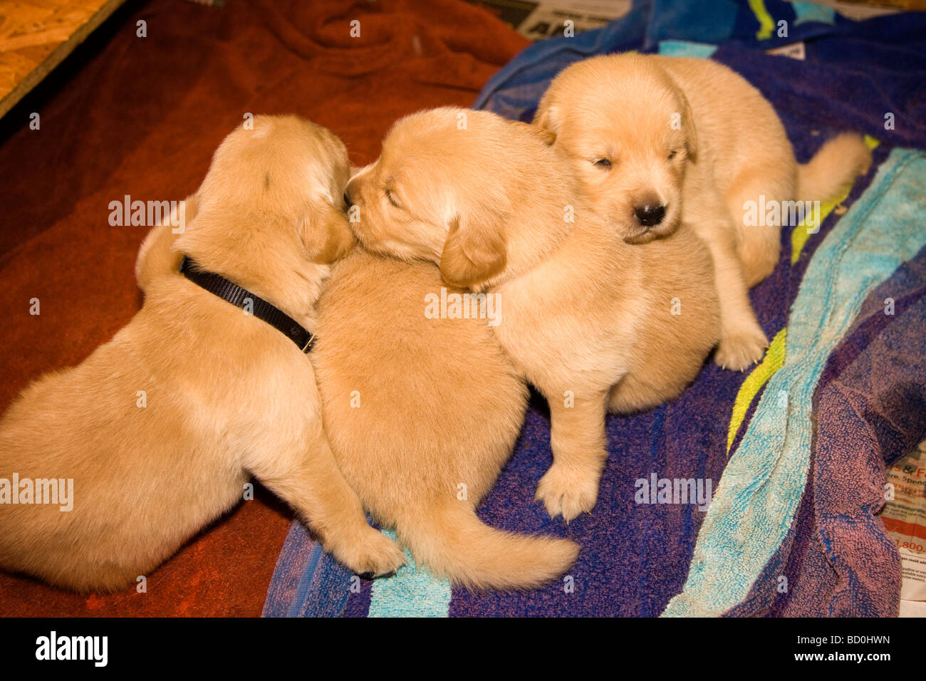 Golden Retriever Litter Immagini Golden Retriever Litter Fotos