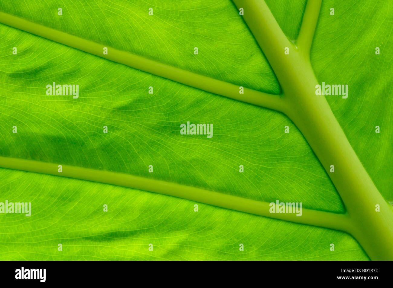 Dettaglio della foglia verde in casa tropicale all'Università di Cambridge Giardini Botanici, Inghilterra Immagini Stock