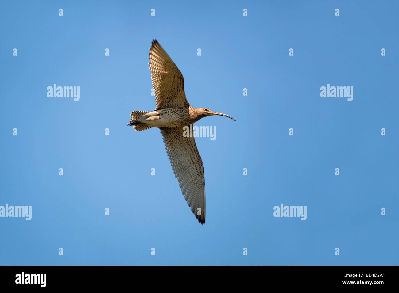 Curlew Numenius arquata in volo Foto Stock