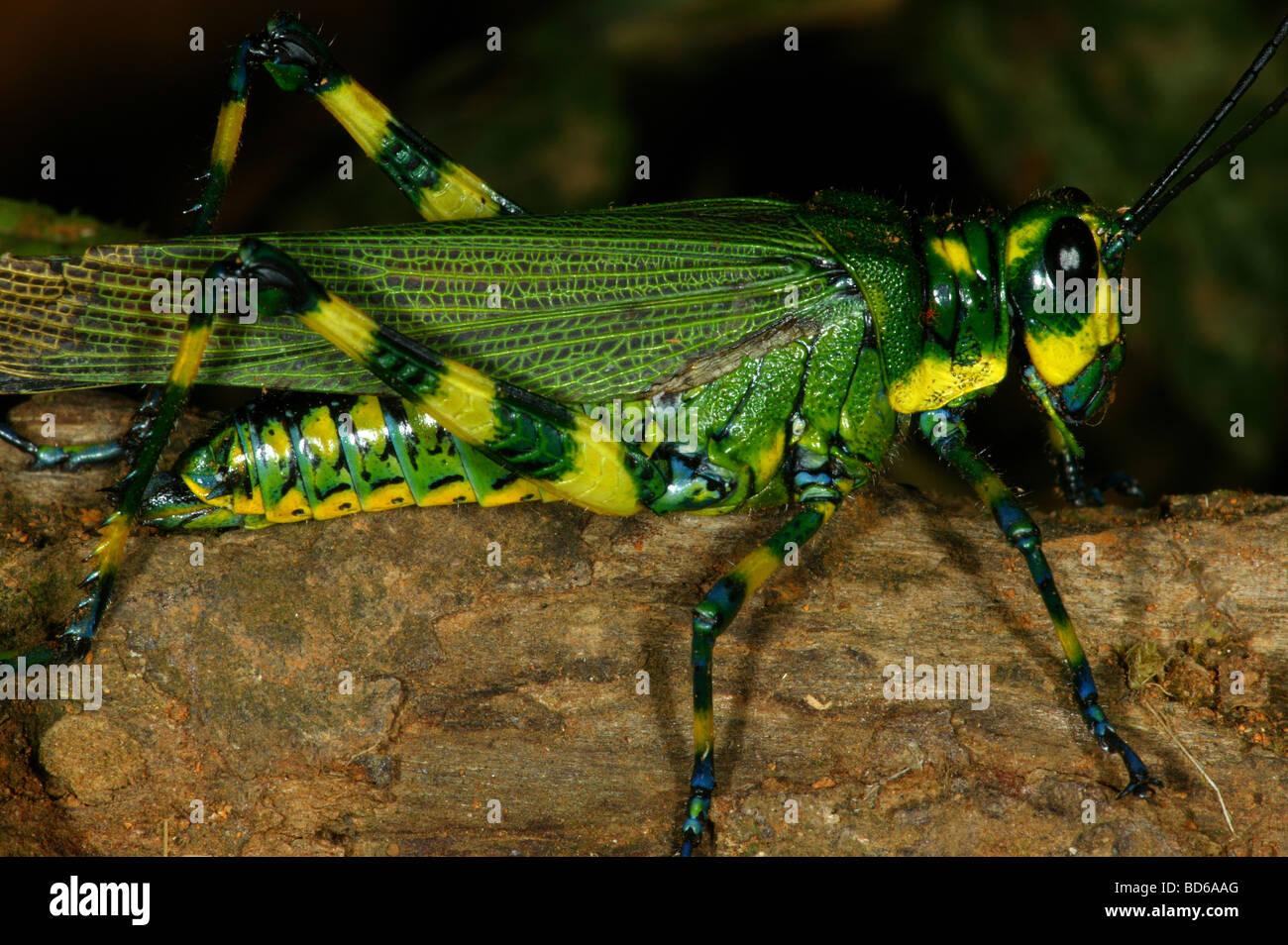 Grasshopper nella foresta pluviale del Parco Nazionale del Darién, Repubblica di Panama Immagini Stock