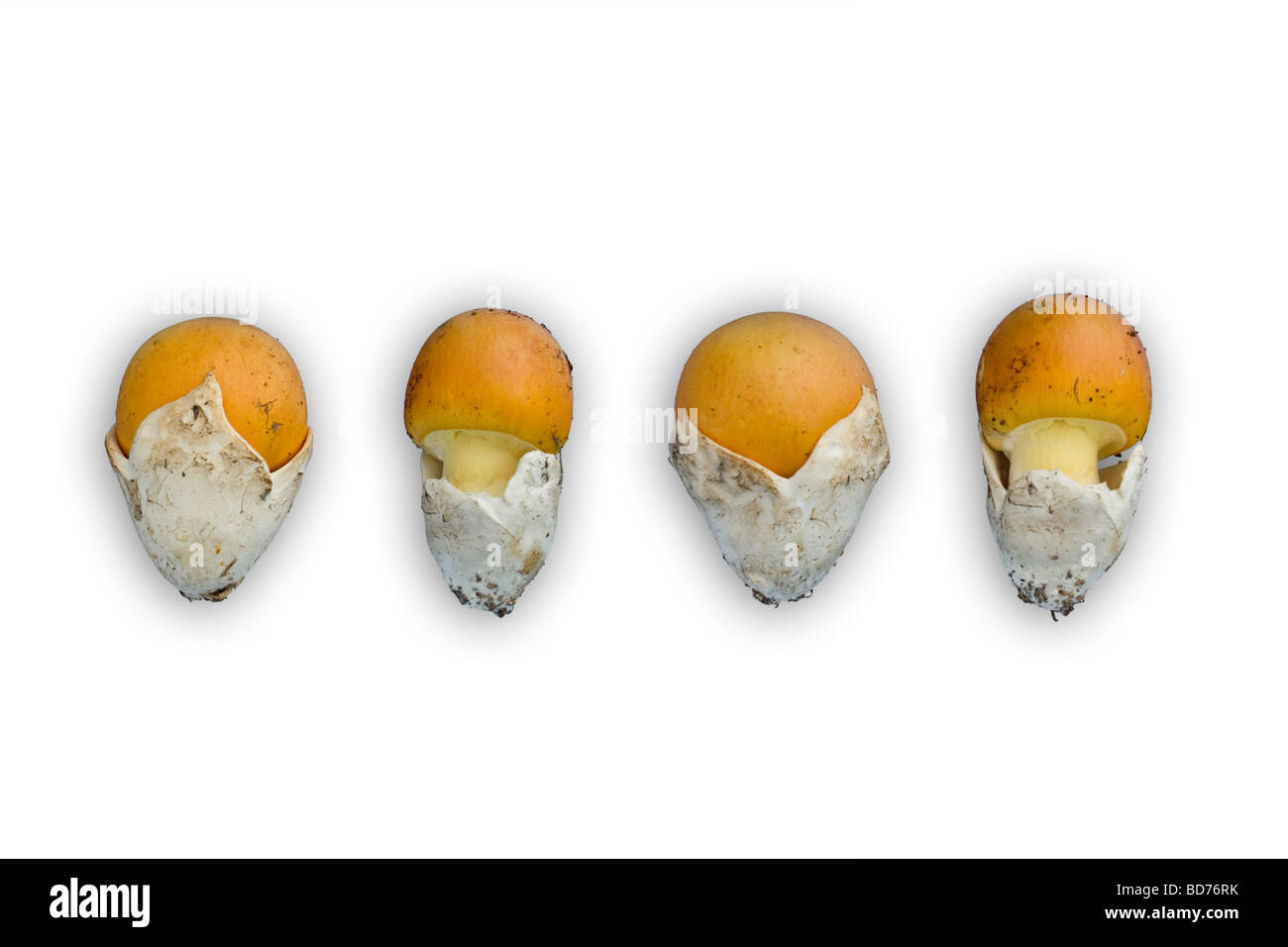 I giovani di Cesare funghi (Amanita cesarea) fotografato in studio (Francia). Jeunes oronges photographiées en studio. Foto Stock