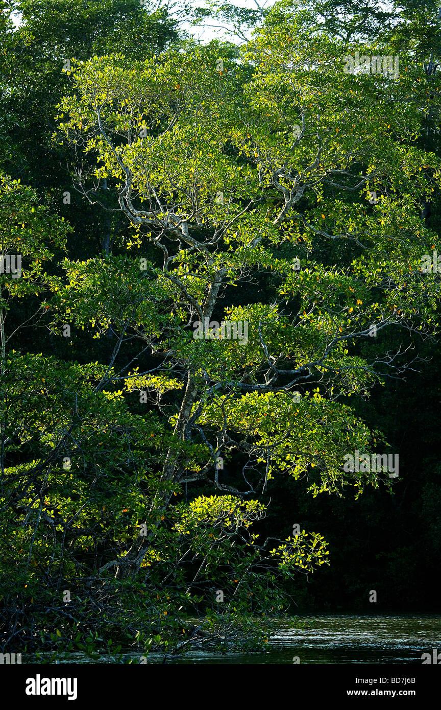 La foresta di mangrovie accanto al fiume Mogue nella provincia di Darien, Repubblica di Panama. Immagini Stock