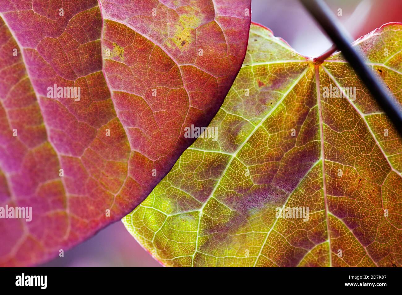 Cercis canadensis 'Forest pansy'. Eastern Redbud foglie di albero Immagini Stock