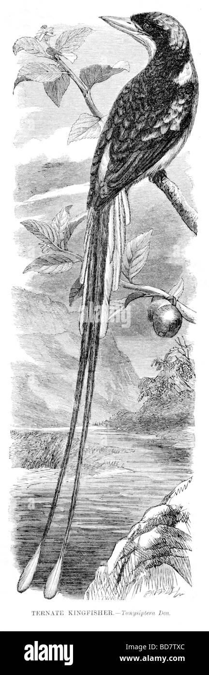 Ternate kingfisher tanysiptera dea Immagini Stock