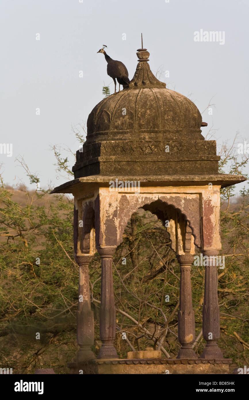 Un pisello-hen sul tetto di un piccolo edificio a distanza nel Parco nazionale di Ranthambore, India Immagini Stock