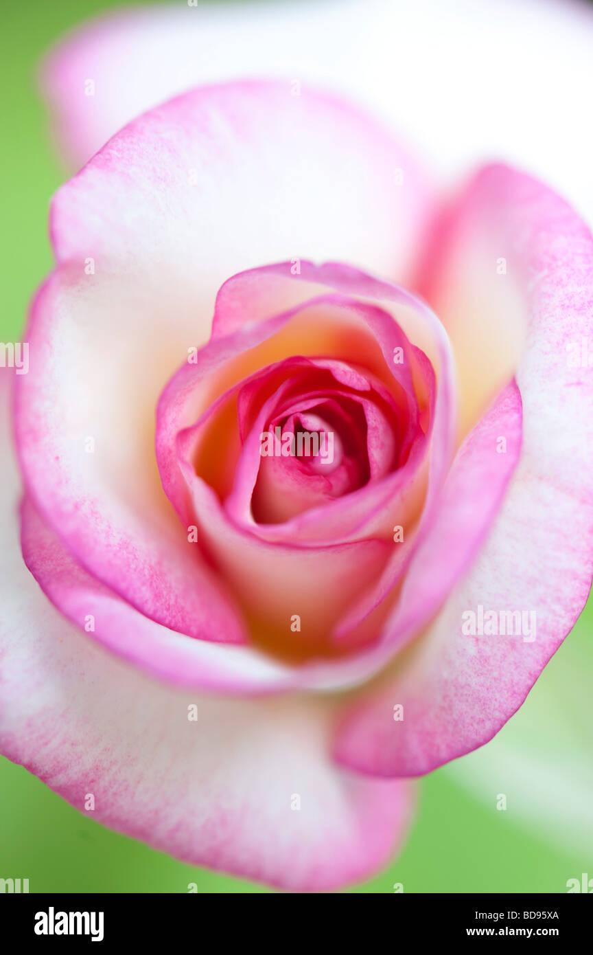 Rose fiore di colore verde brillante con uno sfondo con messa a fuoco poco profonda Immagini Stock