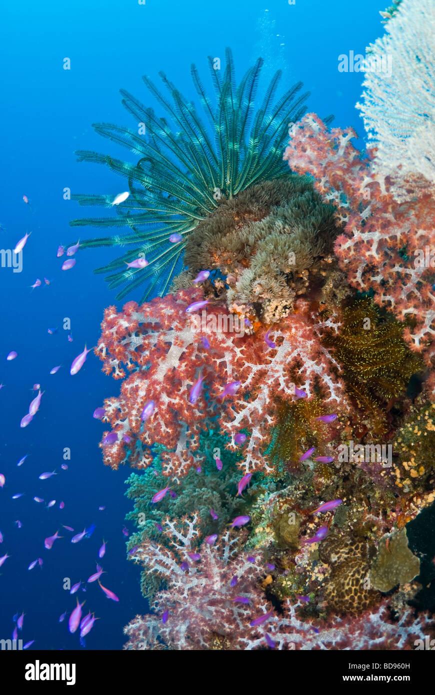 Philippine giardini di corallo, Cabilao, Filippine Immagini Stock