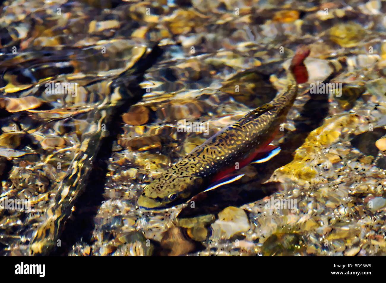 Acquerello di trota di fiume Immagini Stock