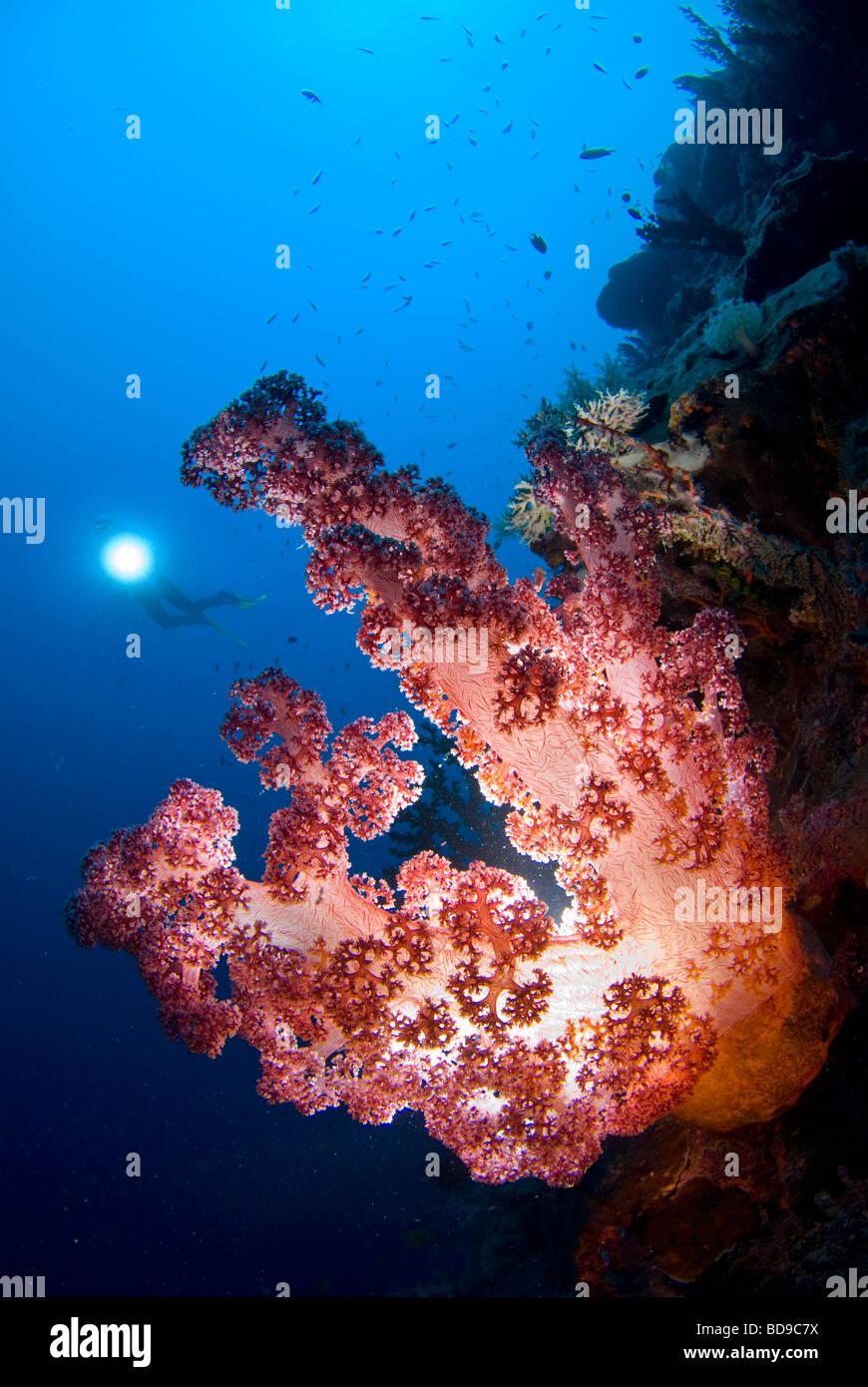 Una sana ricca di coralli molli fotografato nelle Filippine utilizzando una diversa tecnica di illuminazione. Immagini Stock