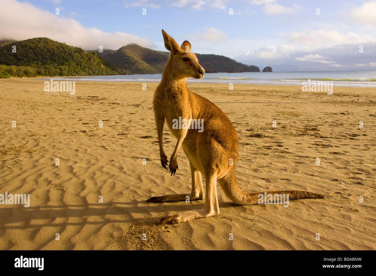 Canguro rosso Macropus rufus sulla spiaggia Immagini Stock