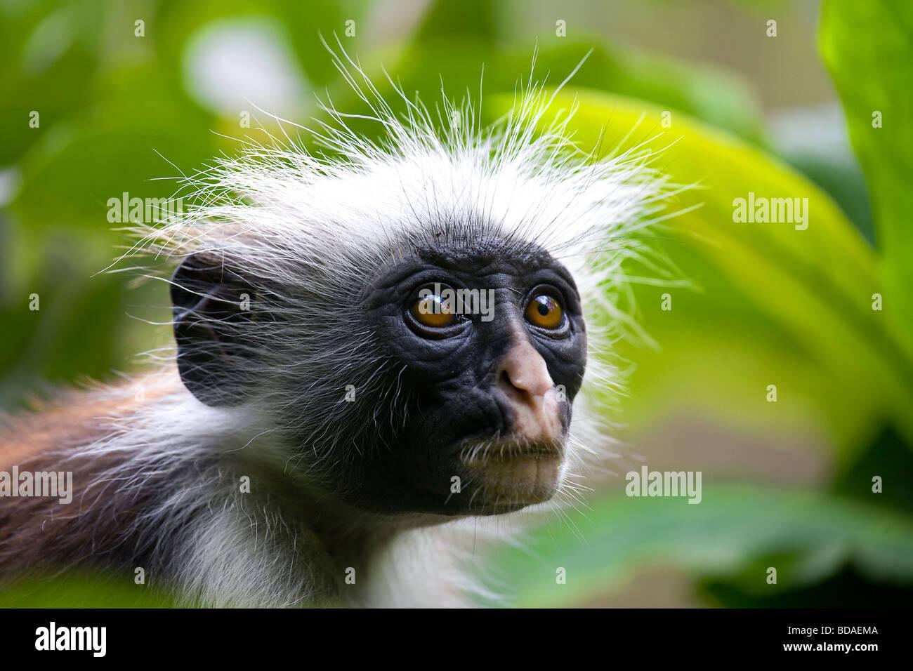 Red Colobus Monkey foresta di Jozani Zanzibar Immagini Stock