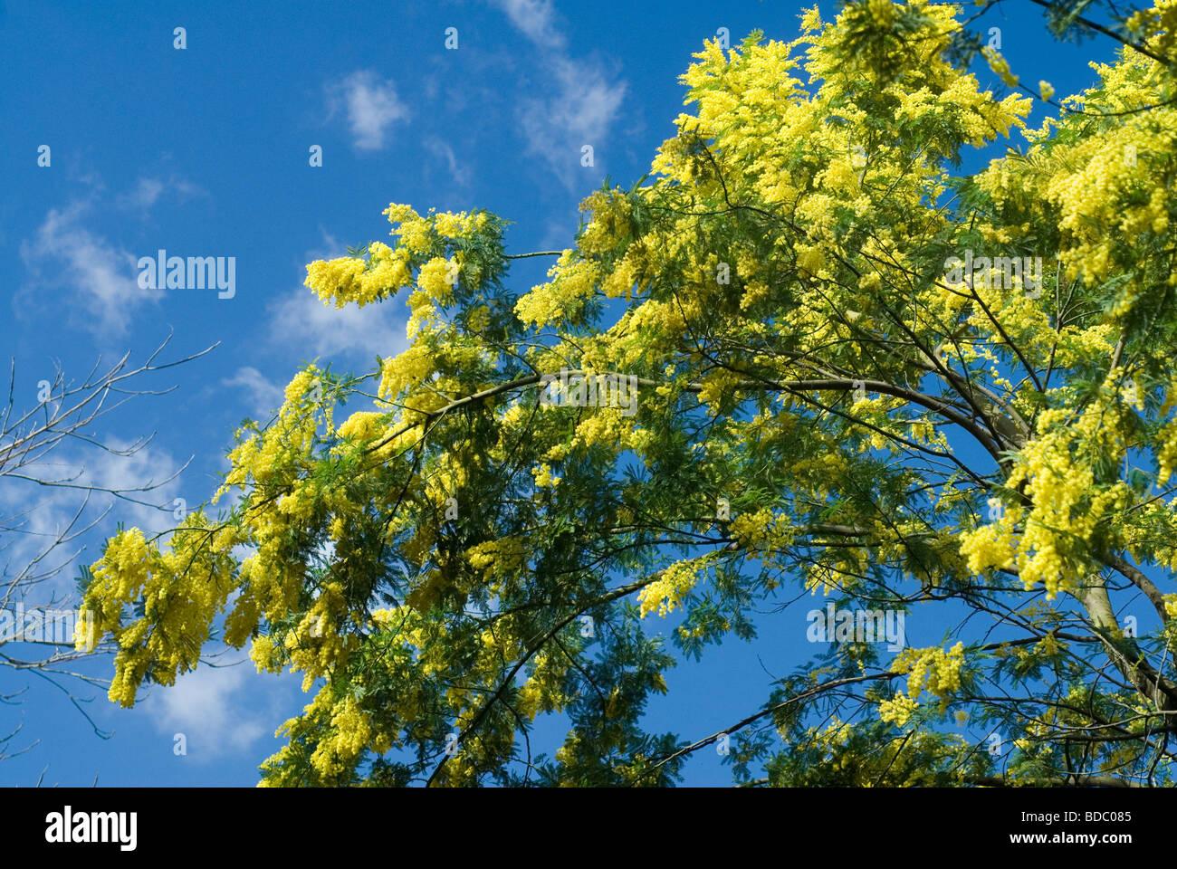 Fiori di Acacia dealbata, Leguminosae Immagini Stock
