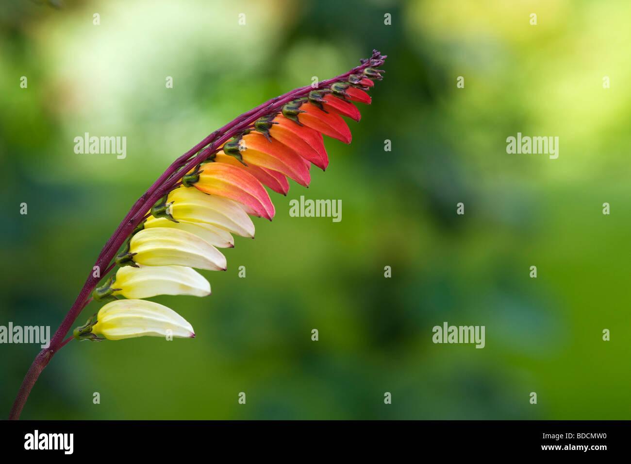 Ipomoea lobata. Petardo vite in fiore. Regno Unito Immagini Stock