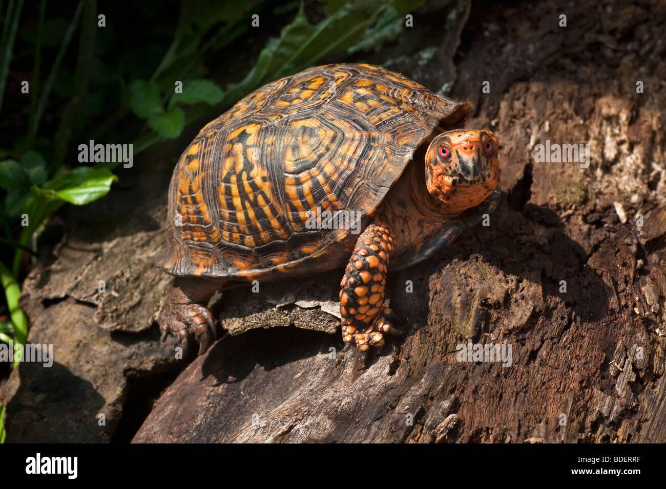 Scatola orientale tartaruga, Terrapene Carolina carolina Immagini Stock