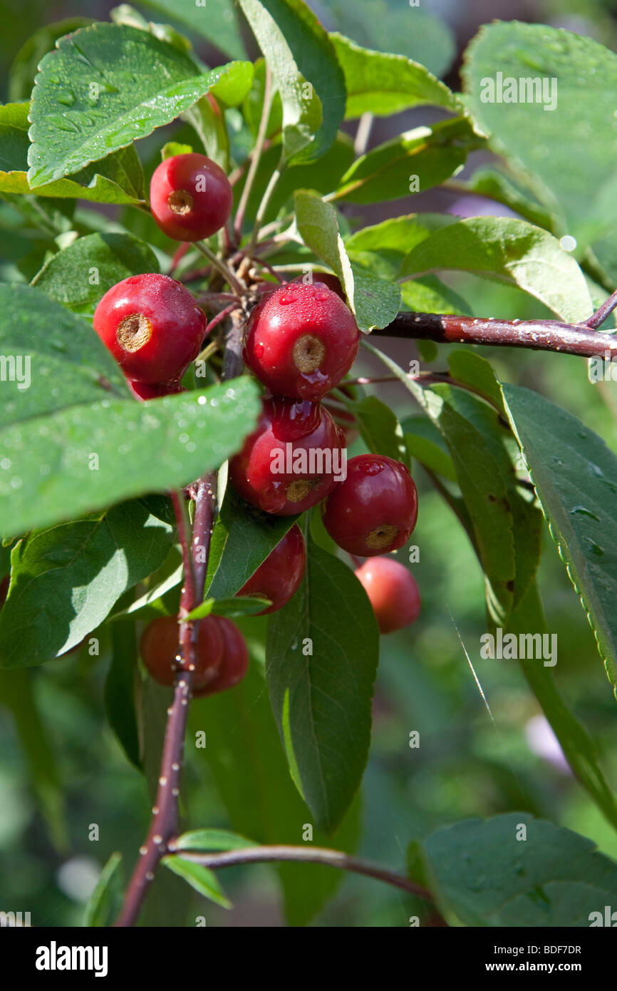 Crab Apple Tree in estate Immagini Stock