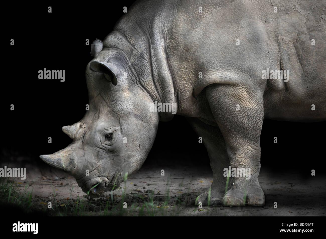 Rinoceronte di piegatura per mangiare su sfondo scuro Immagini Stock