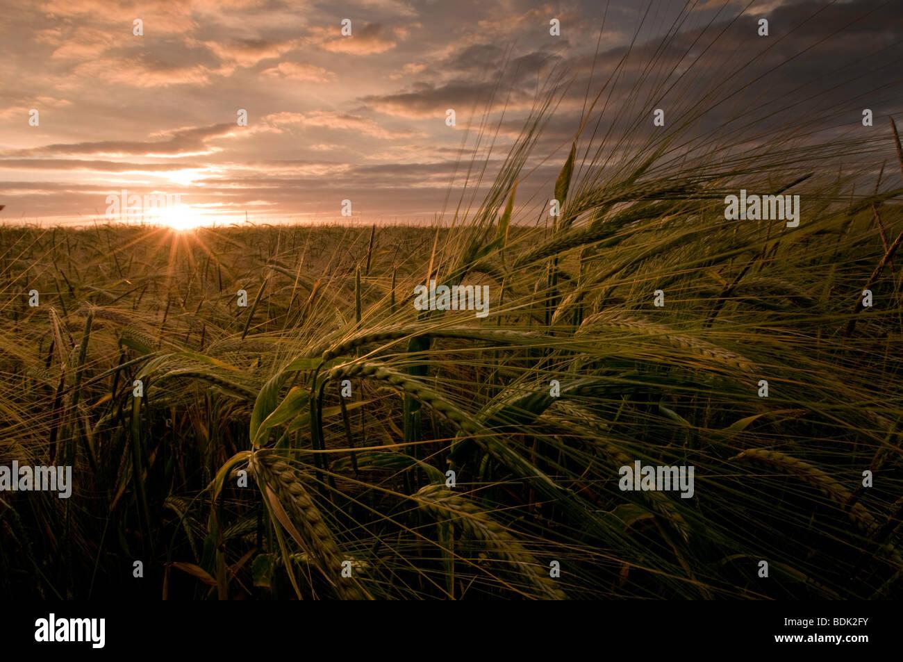 Orzo coltivazione di mais nel sud Downs, Inghilterra Immagini Stock