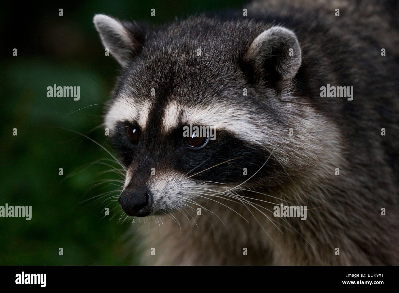 Raccoon in Stanley Park, Vancouver, British Columbia, Canada. Immagini Stock