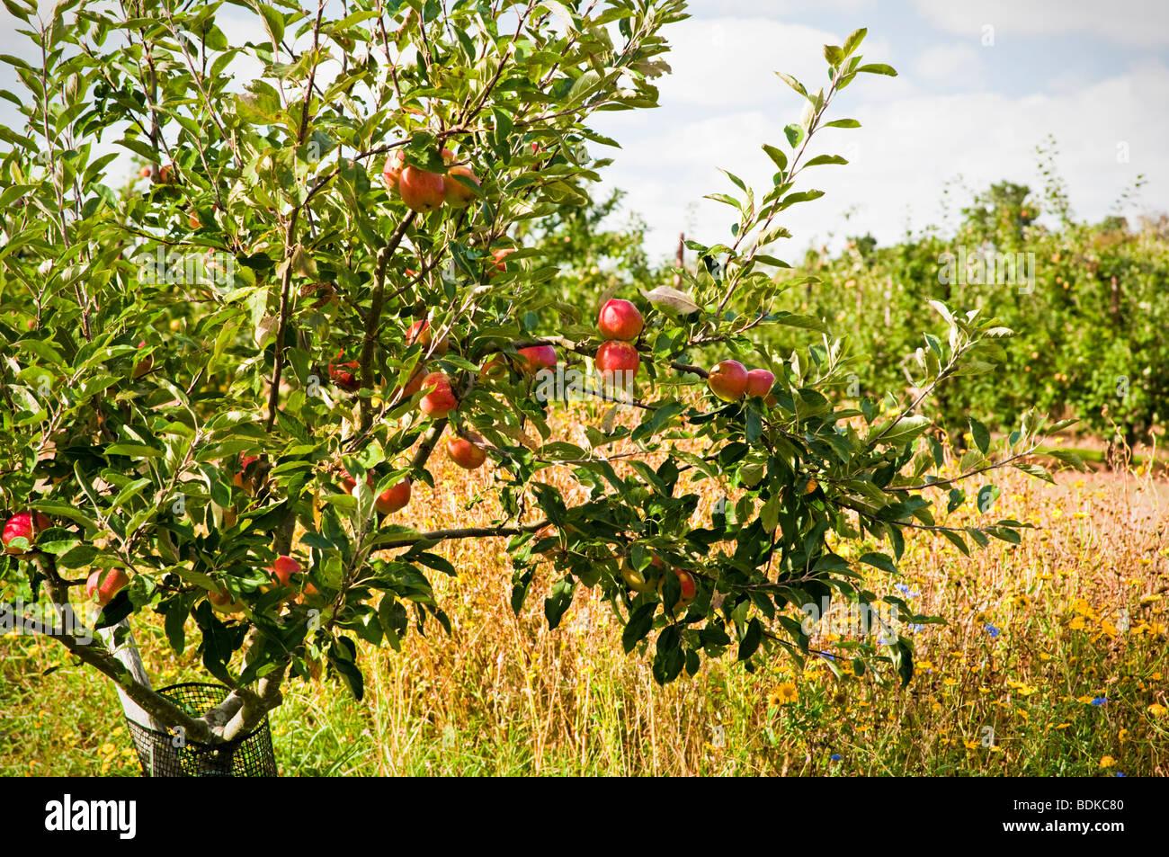 Albero di mele nel frutteto con fiori selvatici, tarda estate, REGNO UNITO Immagini Stock
