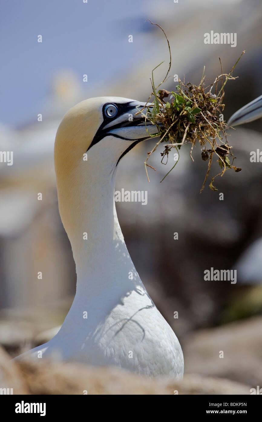 Gannett; Morus bassanus; con materiale di nesting Immagini Stock