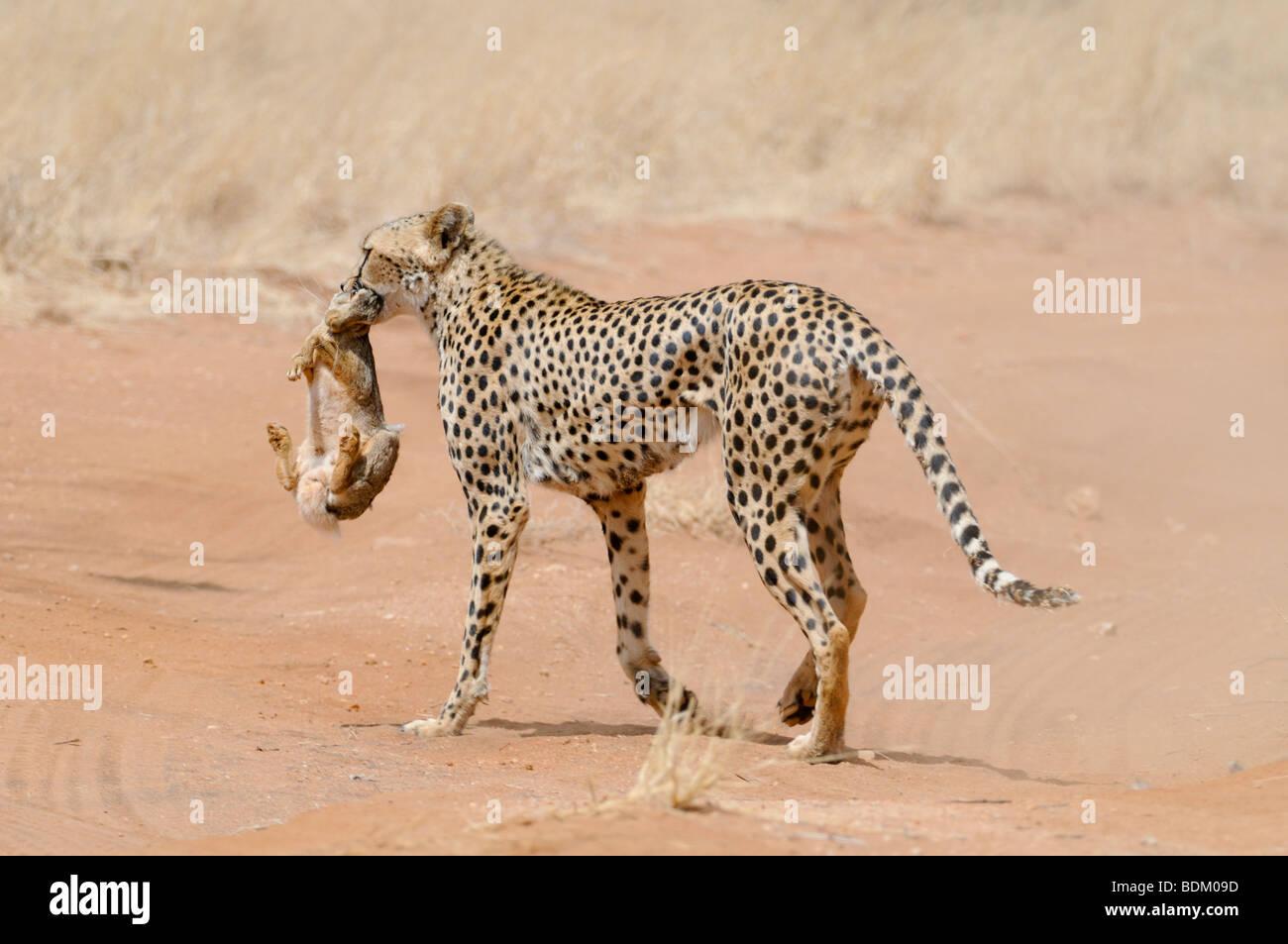 Africa, Kenya, Samburu riserva nazionale, ghepardo (Acinonyx jubatus) porta un coniglio cacciato nella sua bocca Immagini Stock