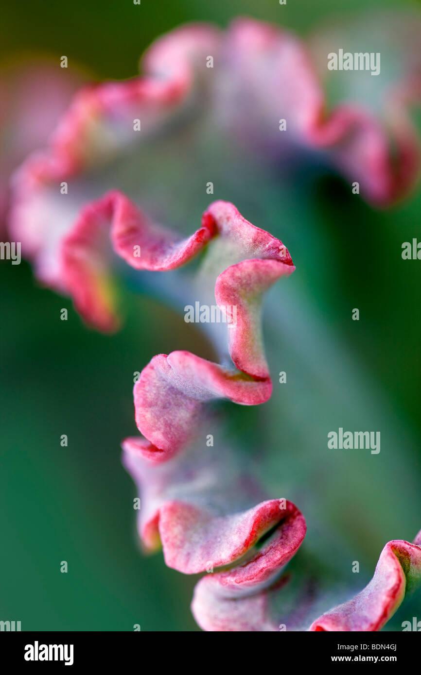 Close up di piante succulente a foglia. Los Angeles, CA Immagini Stock