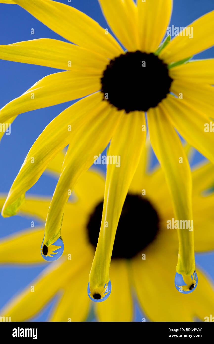 Close up di margherite con gocce di rugiada. Immagini Stock