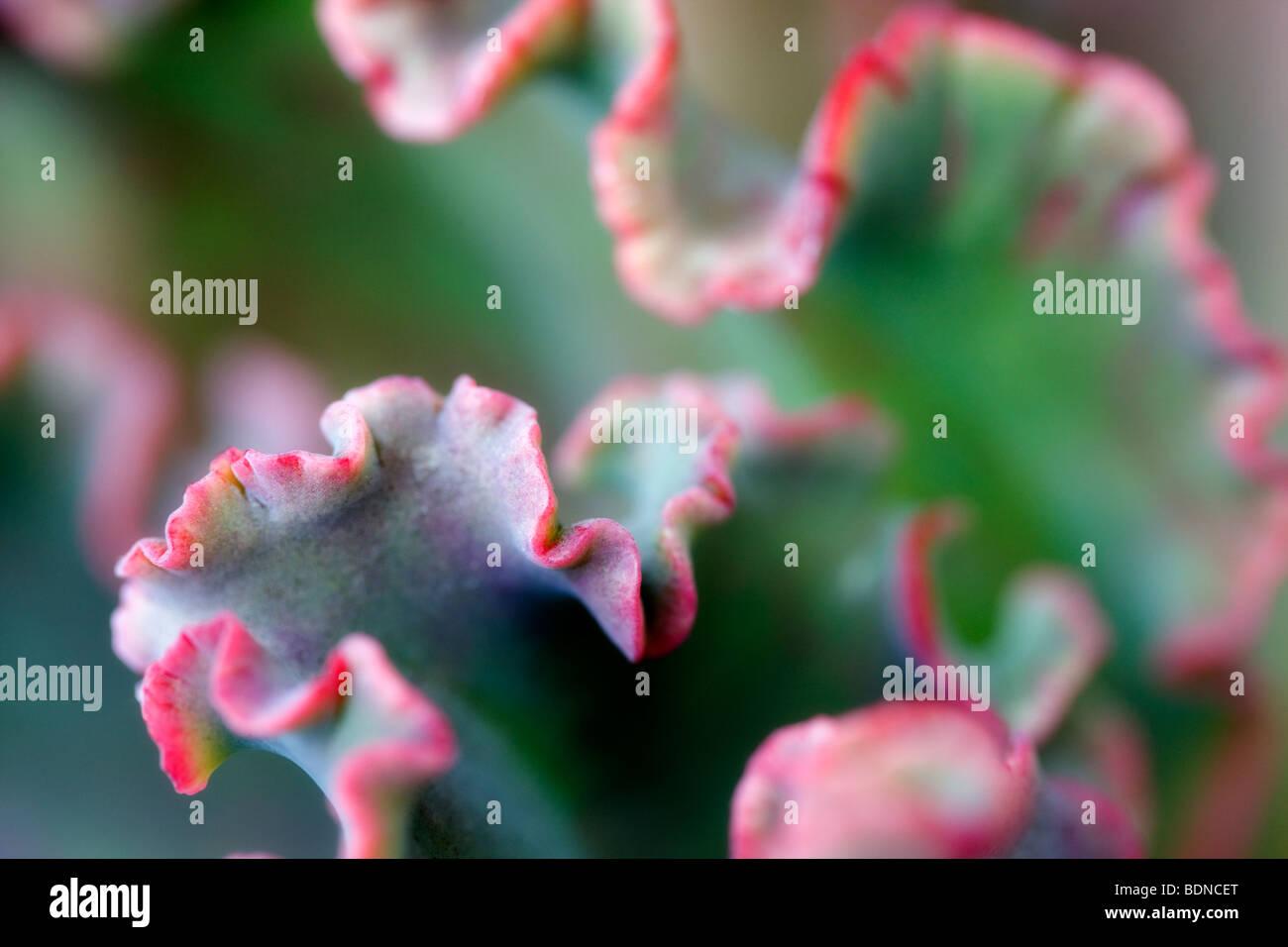 Foglia di succulente vicino. Los Angeles, CA Immagini Stock