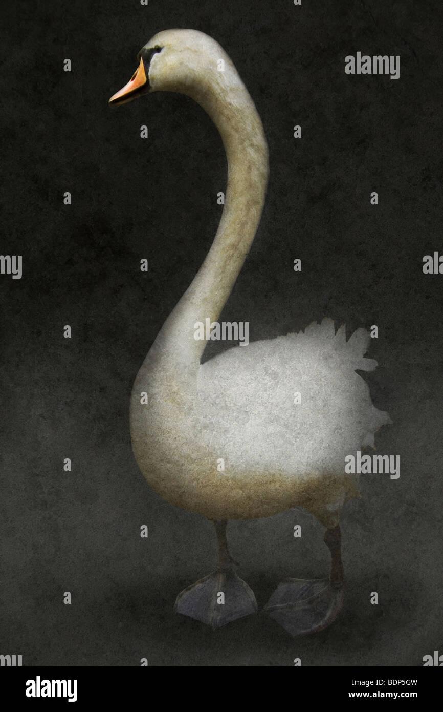 Il White Swan in piedi da solo contro un ackground scuro Immagini Stock