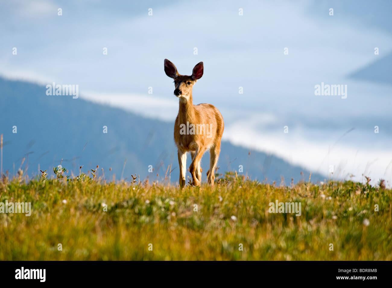 Il cervo a Hurricane Ridge, il Parco Nazionale di Olympic, Washington, Stati Uniti d'America Immagini Stock