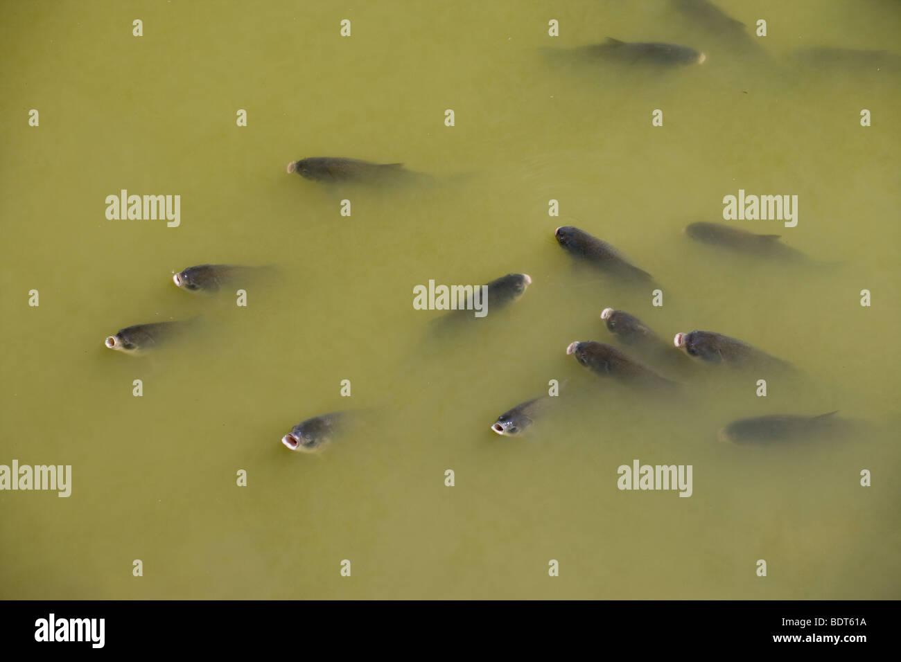 Carpa di morire nel basso livello piscina durante il periodo secco, Forcella est del fiume Des Moines, Okamanpedan Immagini Stock